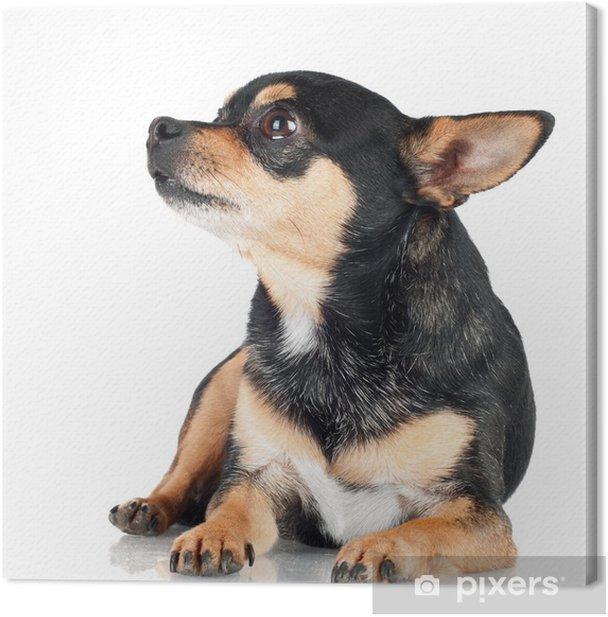 Obraz na płótnie Czarny pies chihuahua leżąc - Ssaki