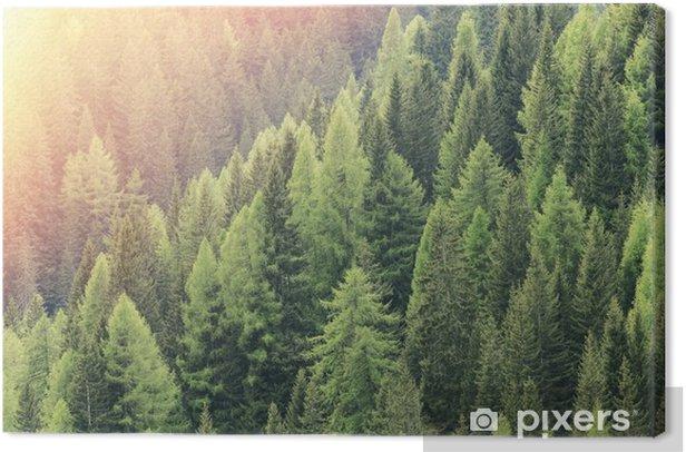 Obraz na płótnie Czarodziejski las oświetlony przez światło słoneczne. Iglasty las regionu. - Krajobrazy