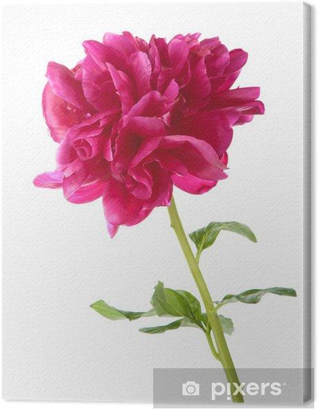 Obraz na płótnie Czerwona piwonia kwiat odizolowanych - Kwiaty
