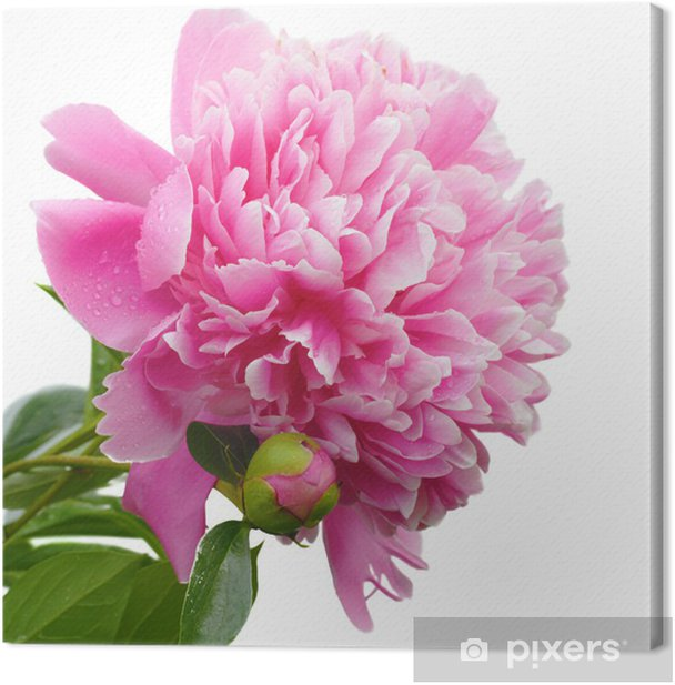 Obraz na płótnie Czerwona piwonia - Kwiaty