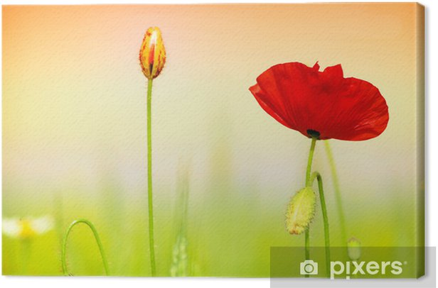 Obraz na płótnie Czerwony mak i trawy - Tematy