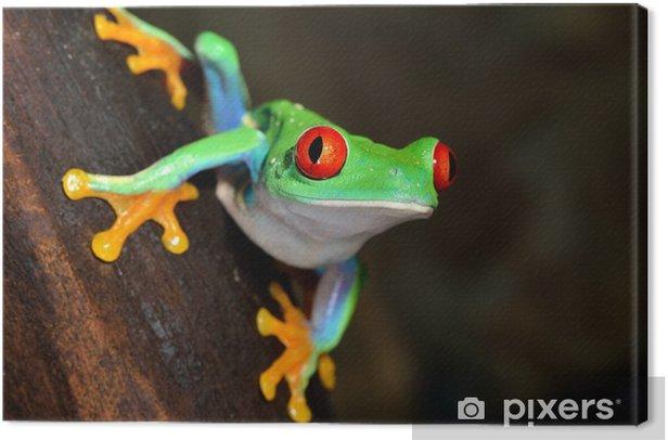 Obraz na płótnie Czerwonych oczu żaba Agalychnis callidryas w terrarium - Żaby