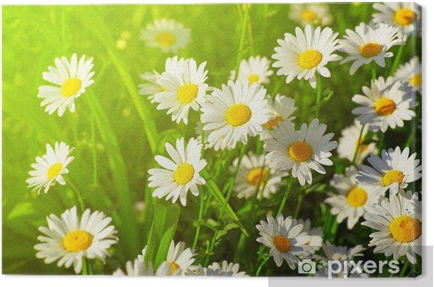 Obraz na płótnie Daisy kwiat na zielonej łące - Kwiaty