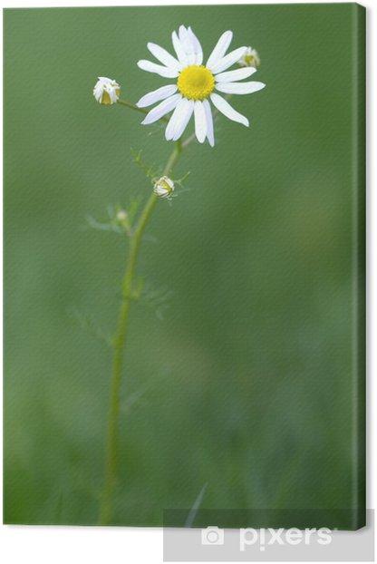 Obraz na płótnie Daisy (łac. Bellis perennis) przed zielonym tle - Pory roku