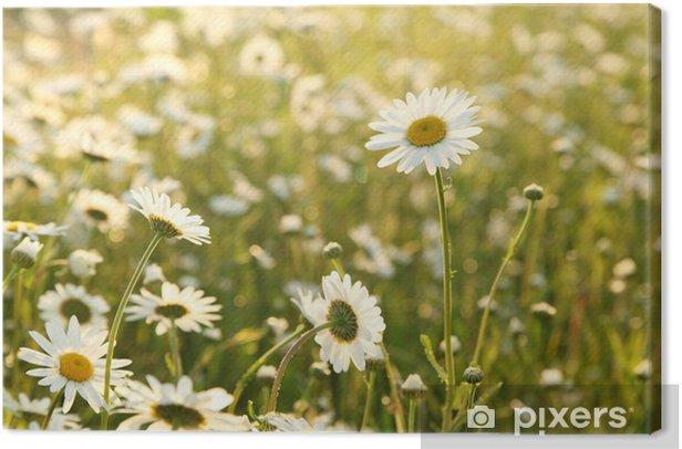 Obraz na płótnie Daisy na łące o zmierzchu bogaty w kwiaty - Kwiaty