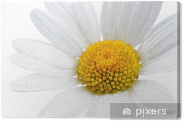 Obraz na płótnie Daisy (Rumianek) Kwiat z kropli wody na białym tle - Kwiaty