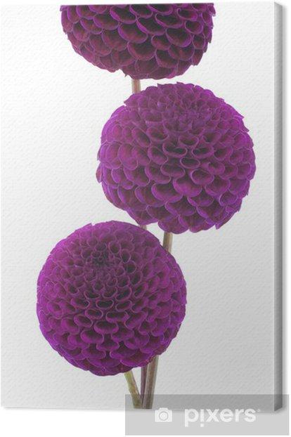 Obraz na płótnie Dalia - Kwiaty