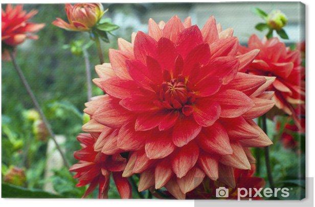 Obraz na płótnie Dalie różowy łosoś w ogrodzie. - Dom i ogród