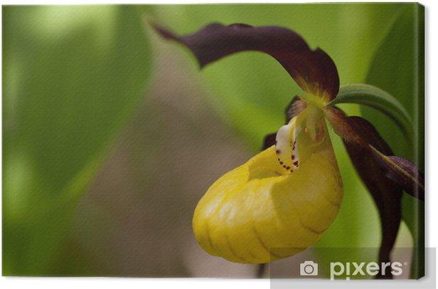 Obraz na płótnie Damska Slipper, Cypripedium calceolus - Rośliny