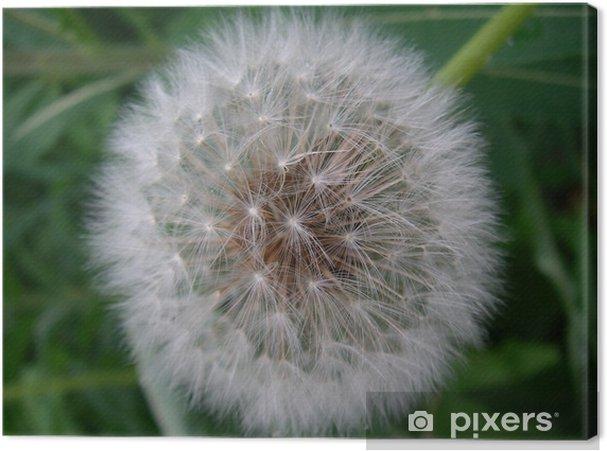 Obraz na płótnie Dendelion - Kwiaty
