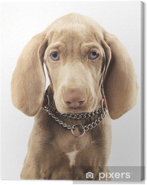 Obraz na płótnie Dog weimarski na czystym białym tle - Ssaki