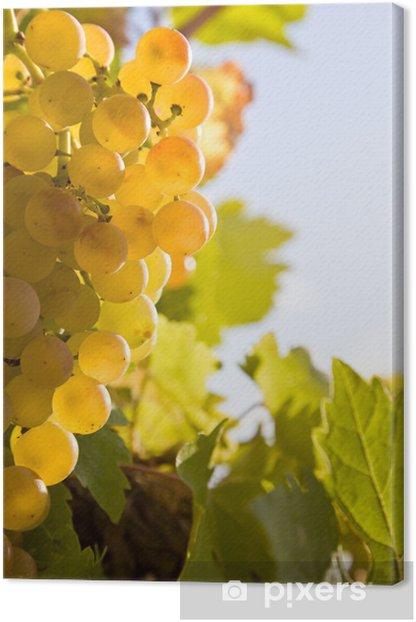 Obraz na płótnie Dojrzałe białe winogrona wiszące na krzewie - Rolnictwo