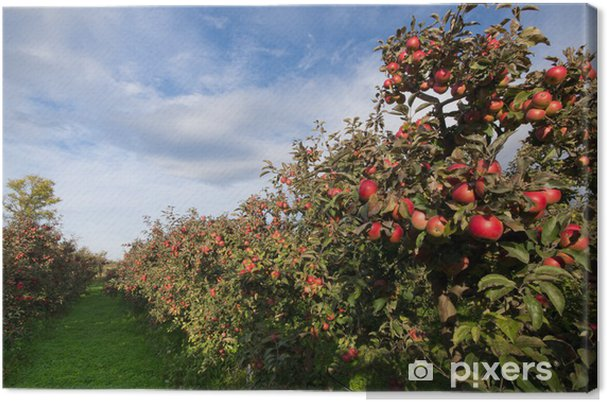 Obraz na płótnie Dojrzałe jabłka na drzewach w sadzie - Jabłonie