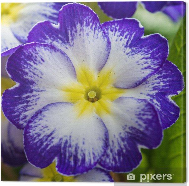 Obraz na płótnie Dość pierwiosnka - Kwiaty