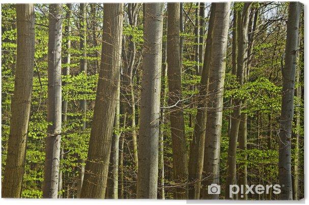 Obraz na płótnie Drewno z drzewa bukowego wiosna szczegółowo - Drzewa