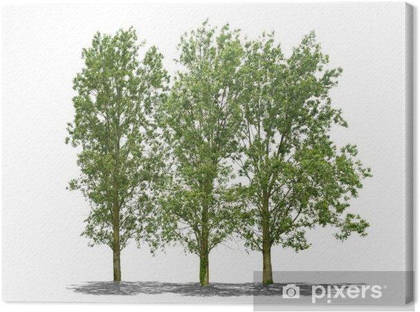 Obraz na płótnie Drzewa na białym tle - Drzewa