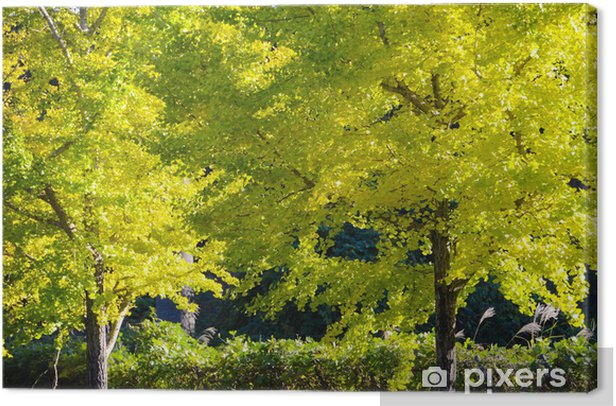 Obraz na płótnie Drzewo ginkgo w drodze, aby stać się żółte liście - Drzewa
