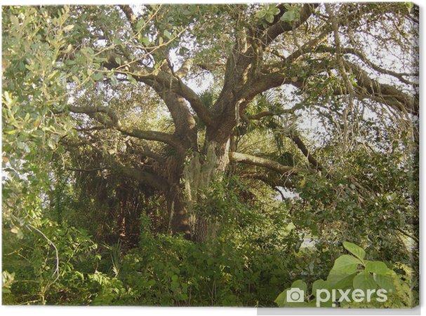 Obraz na płótnie Drzewo na żywo dąb (Quercus virginiana) - Drzewa