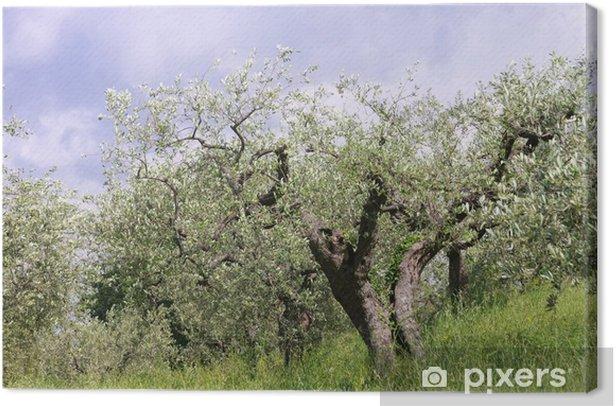 Obraz na płótnie Drzewo oliwne w Toskanii, 04 - Europa