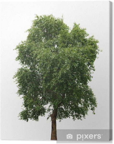 Obraz na płótnie Drzewo samodzielnie na białym tle - Drzewa