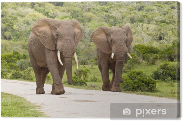 Obraz na płótnie Dwa duże słonie - Tematy