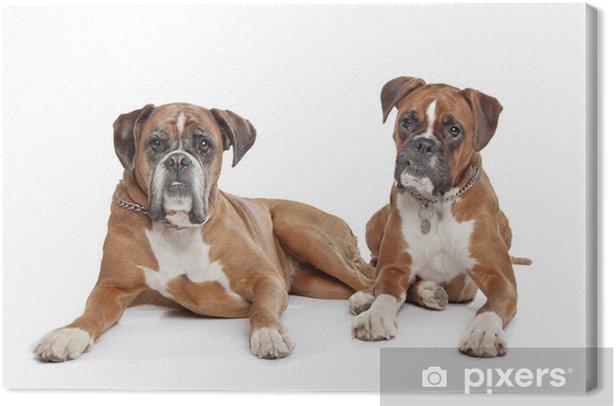 Obraz na płótnie Dwa zwykłe psy bokserki płowe - Ssaki
