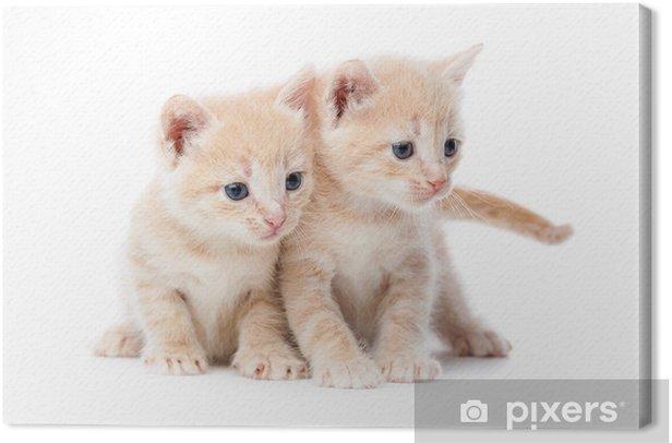 Obraz na płótnie Dwie czerwone włosy kocięta. - Ssaki