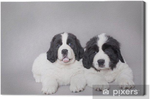 Obraz na płótnie Dwie małe Landseer szczenięta portret - Ssaki