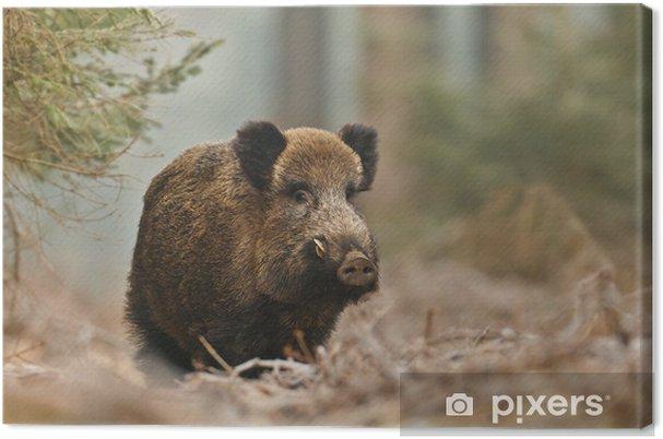 Obraz na płótnie Dzik w bawarskim lesie - Ssaki