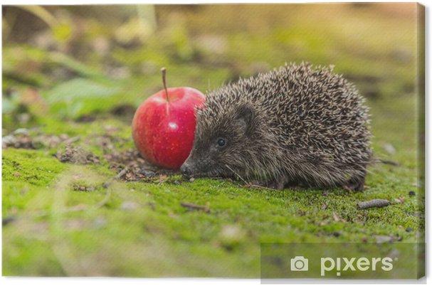 Obraz na płótnie Dziki Jeż szuka żywności - Ssaki