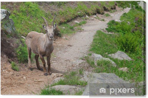 Obraz na płótnie Dzikie kozy górskie Capra Ibex na szlak turystyczny w Alpach francuskich. - Europa