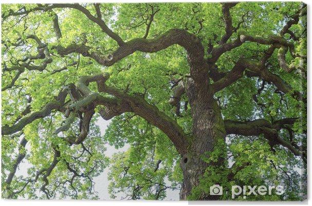 Obraz na płótnie Eiche # 28 - Drzewa