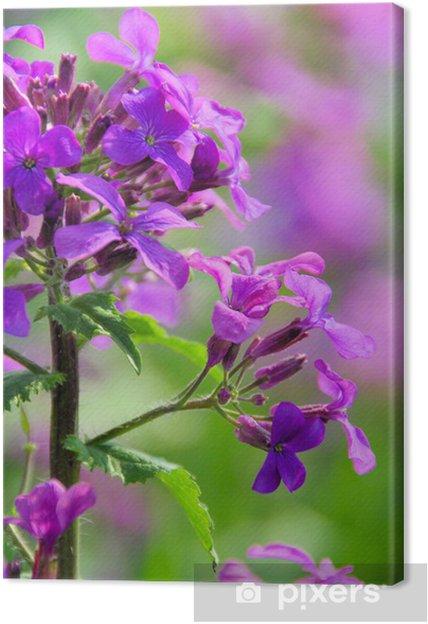Obraz na płótnie Einjähriges Silberblatt - Roczne Uczciwość 15 - Kwiaty