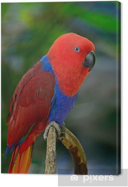 Obraz na płótnie Electus papuga - Tematy