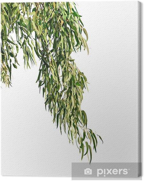 Obraz na płótnie Eukaliptus oddział - Części ciała