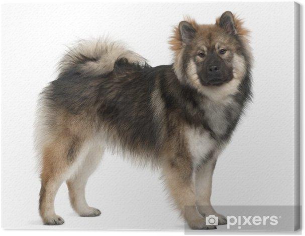 Obraz na płótnie Eurasier pies, 1 roku życia, stojąc przed białym tle - Ssaki
