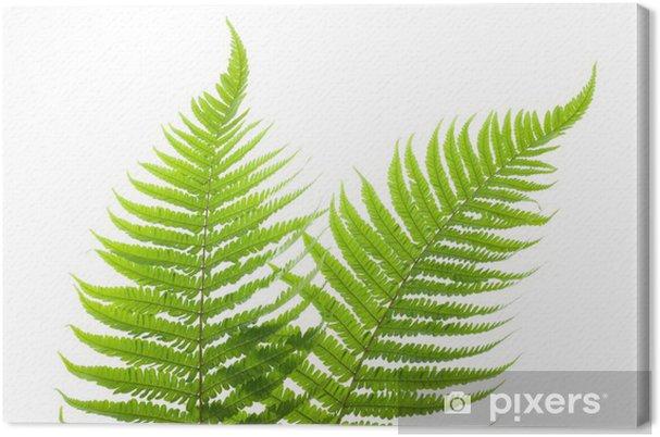 Obraz na płótnie Ferns - Rośliny