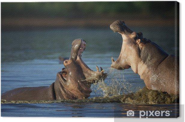 Obraz na płótnie Fighting Hippo - Ssaki