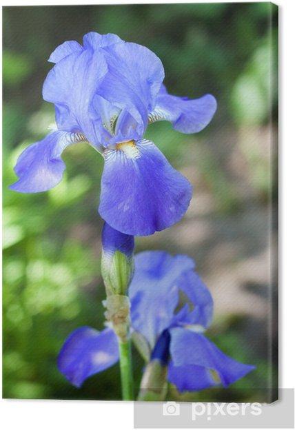 Obraz na płótnie Fioletowe i białe tęczówki kwiat z bliska - Kwiaty