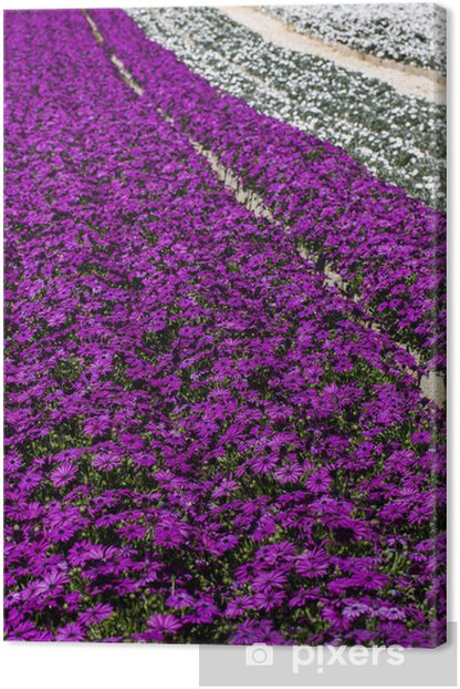 Obraz na płótnie Fioletowy i biały kwiat Gerbera Daisy przedszkole. - Kwiaty