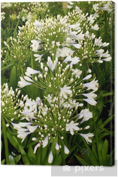 Obraz na płótnie Flora Blue Ice Agapanthus - Kwiaty