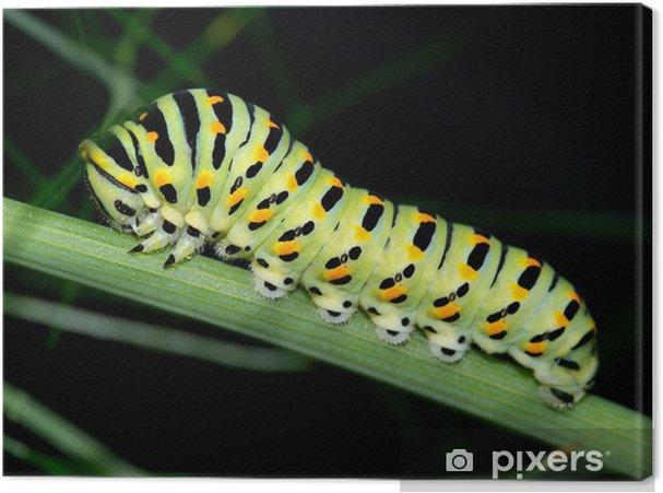 Obraz na płótnie Gąsienica makro. czarny nieustalona, Papilio polyxenes - Inne Inne