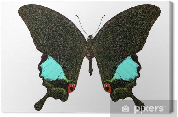 Obraz na płótnie Gatunków motyli Papilio karna karna - Inne Inne