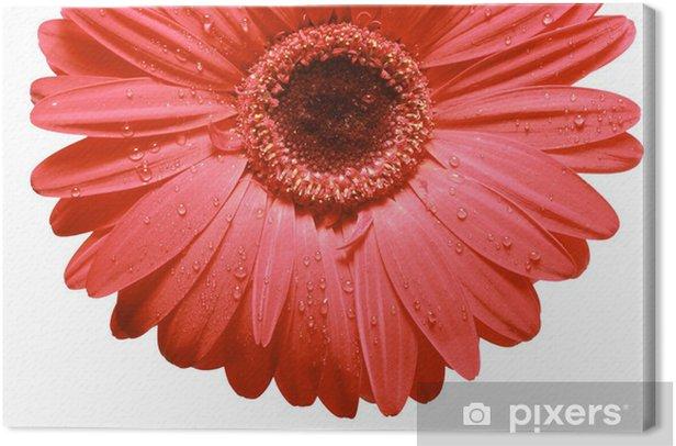Obraz na płótnie Gerbera czerwony - Kwiaty