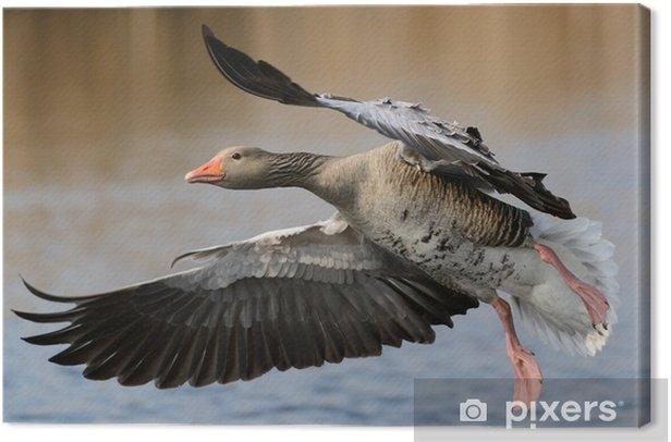 Obraz na płótnie Gęś - Ptaki