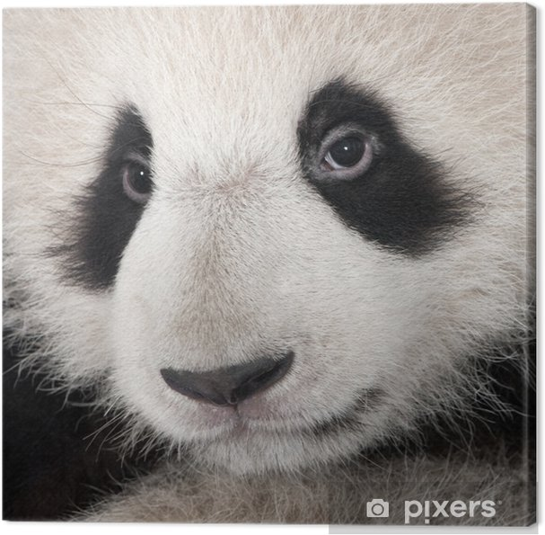 Obraz na płótnie Giant Panda (18 miesięcy) - Tematy