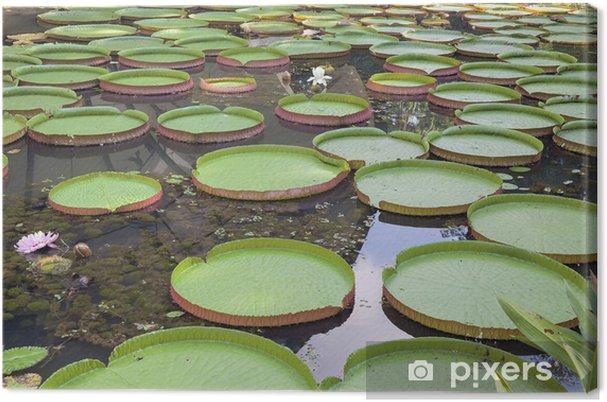 Obraz na płótnie Gigantyczne klocki Amazonii grążel - Cuda natury