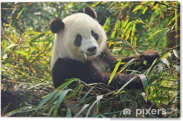 Obraz na płótnie Głodny panda bear jedzenia bambusa - Zwierzęta