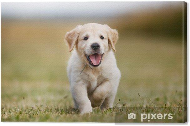 Obraz na płótnie Golden retriever puppy szczęśliwa - iStaging