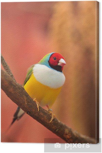 Obraz na płótnie Gouldian Finch kolorowy ptak - Tematy